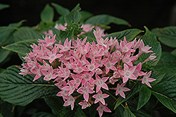 New Look Pink Star Flower (Pentas lanceolata 'New Look Pink') at All Seasons Nursery