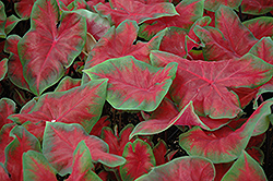 Frieda Hemple Caladium (Caladium 'Frieda Hemple') at All Seasons Nursery