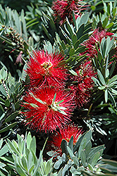 Little John Dwarf Bottlebrush (Callistemon citrinus 'Little John') at All Seasons Nursery