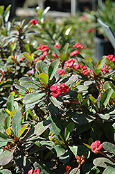 Crown Of Thorns (Euphorbia milii) at All Seasons Nursery