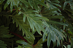 Xanadu Philodendron (Philodendron 'Winterbourn') at All Seasons Nursery