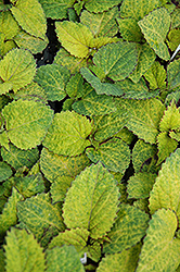 Wizard Pineapple Coleus (Solenostemon scutellarioides 'Wizard Pineapple') at All Seasons Nursery