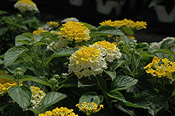 Bandana® Lemon Zest Lantana (Lantana camara 'Bandana Lemon Zest') at All Seasons Nursery