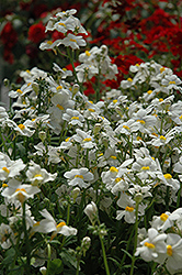 Sunsatia Coconut Nemesia (Nemesia 'Sunsatia Coconut') at All Seasons Nursery