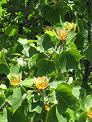 Tulip Poplar Tree (Liriodendron tulipifera) at All Seasons Nursery