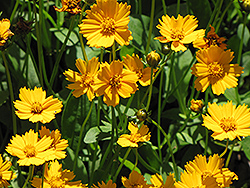Mouse Ear Coreopsis (Coreopsis auriculata 'Nana') at All Seasons Nursery