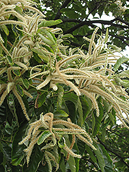 Chinese Chestnut (Castanea mollissima) at All Seasons Nursery