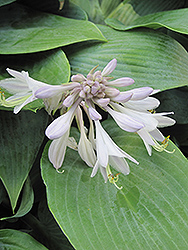 Halcyon Hosta (Hosta 'Halcyon') at All Seasons Nursery