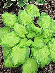 Stained Glass Hosta (Hosta 'Stained Glass') at All Seasons Nursery