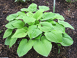 August Moon Hosta (Hosta 'August Moon') at All Seasons Nursery