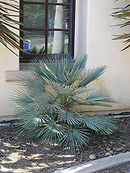 Blue Mediterranean Fan Palm (Chamaerops humilis var. cerifera) at All Seasons Nursery