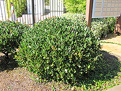 Japanese Mock Orange (Pittosporum tobira) at All Seasons Nursery