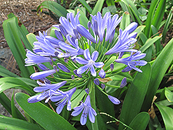 Queen Anne Agapanthus (Agapanthus 'Queen Anne') at All Seasons Nursery