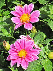 Dahlietta® Emily Dahlia (Dahlia 'Dahlietta Emily') at All Seasons Nursery