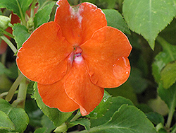 Dazzler Orange Impatiens (Impatiens 'Dazzler Orange') at All Seasons Nursery