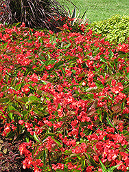 Dragon Wing Red Begonia (Begonia 'Dragon Wing Red') at All Seasons Nursery