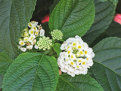 White Gold Lantana (Lantana camara 'White Gold') at All Seasons Nursery