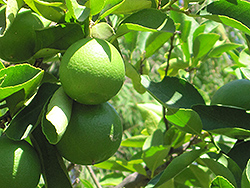 Persian Lime (Citrus x latifolia) at All Seasons Nursery