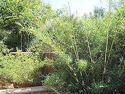 Hedge Bamboo (Bambusa multiplex) at All Seasons Nursery