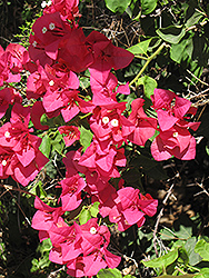 Barbara Karst Bougainvillea (Bougainvillea 'Barbara Karst') at All Seasons Nursery