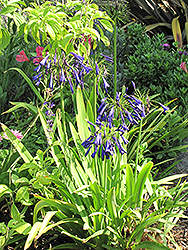 Storm Cloud Agapanthus (Agapanthus 'Storm Cloud') at All Seasons Nursery