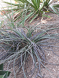 Red Yucca (Hesperaloe parviflora) at All Seasons Nursery