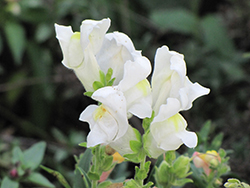 Montego™ White Snapdragon (Antirrhinum majus 'Montego White') at All Seasons Nursery