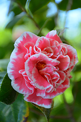 Jean Clere Camellia (Camellia japonica 'Jean Clere') at All Seasons Nursery