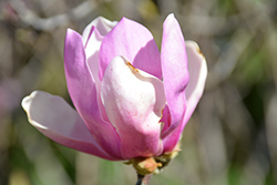 Jane Magnolia (Magnolia 'Jane') at All Seasons Nursery