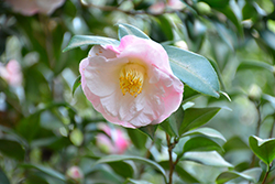 Dr. Tinsley Camellia (Camellia japonica 'Dr. Tinsley') at All Seasons Nursery