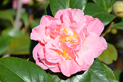 King's Ransom Camellia (Camellia japonica 'King's Ransom') at All Seasons Nursery