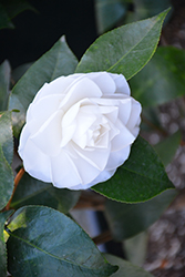 Ragland Supreme Camellia (Camellia japonica 'Ragland Supreme') at All Seasons Nursery