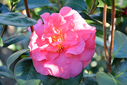 Scentsation Camellia (Camellia japonica 'Scentsation') at All Seasons Nursery