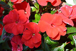 SunPatiens Compact Fire Red New Guinea Impatiens (Impatiens 'SAMKIMP039') at All Seasons Nursery