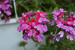 Lanai® Twister™ Burgundy Verbena (Verbena 'Lanai Twister Burgundy') at All Seasons Nursery