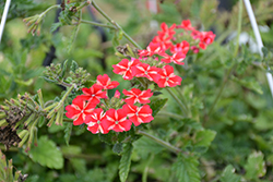 Lanai® Synchro Red Star Verbena (Verbena 'Lanai Synchro Red Star') at All Seasons Nursery