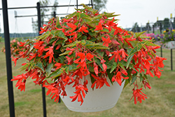 Bossa Nova® Red Shades Begonia (Begonia boliviensis 'Bossa Nova Red Shades') at All Seasons Nursery