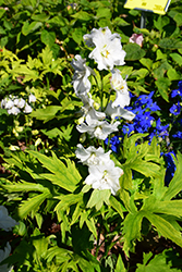 Guardian White Larkspur (Delphinium 'Guardian White') at All Seasons Nursery
