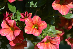 Superbells® Tropical Sunrise Calibrachoa (Calibrachoa 'INCALTRSUN') at All Seasons Nursery