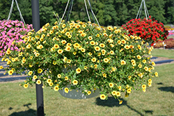 Superbells® Saffron Calibrachoa (Calibrachoa 'Superbells Saffron') at All Seasons Nursery