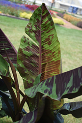 Zebrina Banana (Musa acuminata 'Zebrina') at All Seasons Nursery
