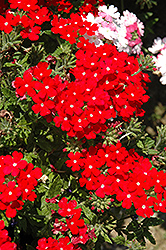 Lanai® Scarlet with Eye Verbena (Verbena 'Lanai Scarlet with Eye') at All Seasons Nursery