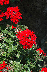 Lanai® Red Verbena (Verbena 'Lanai Red') at All Seasons Nursery