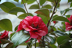 April Tryst Camellia (Camellia japonica 'April Tryst') at All Seasons Nursery