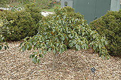 Wheel Tree (Trochodendron aralioides) at All Seasons Nursery