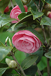 Pearl Maxwell Camellia (Camellia japonica 'Pearl Maxwell') at All Seasons Nursery
