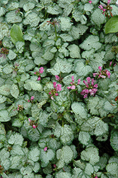 Beacon Silver Spotted Dead Nettle (Lamium maculatum 'Beacon Silver') at All Seasons Nursery