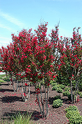 Red Rocket Crapemyrtle (Lagerstroemia indica 'Whit IV') at All Seasons Nursery