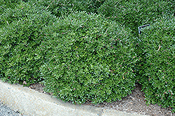 Bordeaux® Yaupon Holly (Ilex vomitoria 'Condeaux') at All Seasons Nursery