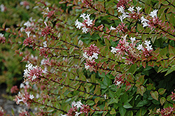 Rose Creek Abelia (Abelia x grandiflora 'Rose Creek') at All Seasons Nursery